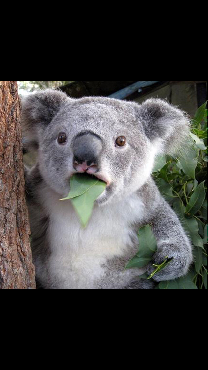 Funny koala at relax time